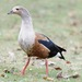 Orinoco Goose - Photo (c) Camilo, some rights reserved (CC BY-NC-ND)