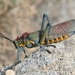 Milkweed Locusts - Photo (c) Christophe André, some rights reserved (CC BY-NC-ND)