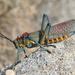 Phymateus saxosus - Photo (c) Christophe André, algunos derechos reservados (CC BY-NC-ND)