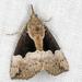 Hypena bijugalis - Photo (c) Rick Ballard, algunos derechos reservados (CC BY-NC)