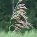 Bromus inermis - Photo (c) Don Sutherland,  זכויות יוצרים חלקיות (CC BY-NC)