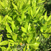 Morella pensylvanica - Photo (c) Robert D Stevenson, algunos derechos reservados (CC BY-NC)