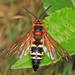 Eastern Cicada-killer Wasp - Photo (c) Judy Gallagher, some rights reserved (CC BY), uploaded by Judy Gallagher