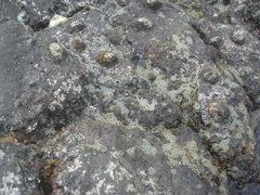Image of Scutellastra kermadecensis