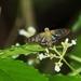 Phanus albiapicalis - Photo (c) Antonio Robles, algunos derechos reservados (CC BY-NC-SA)