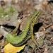 Brauner's Rock Lizard - Photo (c) Elena Skvortsova, some rights reserved (CC BY-NC)