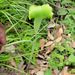Arisaema consanguineum - Photo (c) Chief RedEarth, algunos derechos reservados (CC BY-NC-ND)