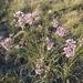 Allium rubens - Photo (c) Денис Елин, μερικά δικαιώματα διατηρούνται (CC BY-NC)