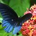 Papilio memnon - Photo (c) Andy Lazere, algunos derechos reservados (CC BY-NC)