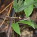 Pseudophasma bispinosum - Photo (c) Daniel Puckett, μερικά δικαιώματα διατηρούνται (CC BY-NC)