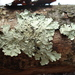 Greenshield Lichens - Photo (c) Paul Morris, some rights reserved (CC BY-SA)