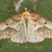 Erannis defoliaria - Photo (c) Tony Morris,  זכויות יוצרים חלקיות (CC BY-NC)