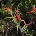 Castilleja miniata miniata - Photo (c) podiceps, alguns direitos reservados (CC BY-NC), uploaded by Susan