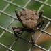 Paleticus pedestris - Photo (c) roserobin, osa oikeuksista pidätetään (CC BY-NC)