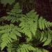 Gymnocarpium disjunctum - Photo (c) podiceps, algunos derechos reservados (CC BY-NC), uploaded by Susan