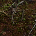 Entosthodon apophysatus - Photo (c) Em Lamond, μερικά δικαιώματα διατηρούνται (CC BY-NC)