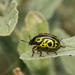 Calligrapha serpentina - Photo (c) Lee Hoy, algunos derechos reservados (CC BY-NC-ND)