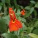 Erythranthe cinnabarina - Photo (c) Dan Beckman, alguns direitos reservados (CC BY-NC)