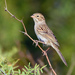 Brewer's Sparrow - Photo (c) Ad Konings, some rights reserved (CC BY-NC)