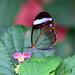 Mariposa Alas de Cristal Oxidada - Photo (c) Leslie Flint, algunos derechos reservados (CC BY-NC)