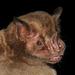 Fringed Fruit-eating Bat - Photo (c) Roberto Leonan Morim Novaes, some rights reserved (CC BY-NC)