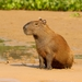Capybara - Photo (c) Carlos Sanchez, some rights reserved (CC BY-NC)
