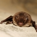 Daubenton's Bat - Photo (c) Gilles San Martin, some rights reserved (CC BY-SA)