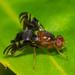 Tephritidae - Photo (c) bob15noble, μερικά δικαιώματα διατηρούνται (CC BY-NC)