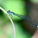 Acanthagrion speculum - Photo (c) Leslie Flint, algunos derechos reservados (CC BY-NC)