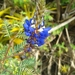 Dalea coerulea - Photo (c) cristianguzman, some rights reserved (CC BY-NC)