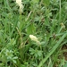 Carex caryophyllea - Photo (c) Bas Kers (NL), alguns direitos reservados (CC BY-NC-SA)