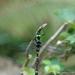 Macromia clio - Photo (c) Weiting Liu, algunos derechos reservados (CC BY-NC-SA)