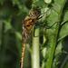 Epitheca bimaculata - Photo (c) Thomas Bresson, algunos derechos reservados (CC BY)