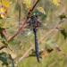 Somatochlora arctica - Photo (c) Piet Spaans,  זכויות יוצרים חלקיות (CC BY-SA)