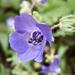 Flor Azul de Fiesta - Photo (c) Mike Baird, algunos derechos reservados (CC BY)