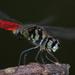 Lyriothemis elegantissima - Photo (c) Weiting Liu, algunos derechos reservados (CC BY-NC-SA)