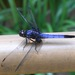 Greater Blue Skimmer - Photo (c) Jann Vendetti, some rights reserved (CC BY-NC-SA)