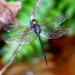 Zyxomma petiolatum - Photo (c) Jkadavoor (Jee), algunos derechos reservados (CC BY-NC-SA)