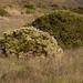 Escobillas o Hierbas del Carbonero - Photo (c) Franco Folini, algunos derechos reservados (CC BY)