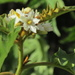 Solanum chrysotrichum - Photo (c) catfood, algunos derechos reservados (CC BY-NC)