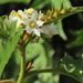 Solanum chrysotrichum - Photo (c) catfood,  זכויות יוצרים חלקיות (CC BY-NC)