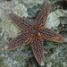 Common Sea Star - Photo (c) Bas Kers (NL), some rights reserved (CC BY-NC-SA)
