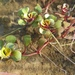 Water-Purslane - Photo (c) roman_romanov, some rights reserved (CC BY-NC)