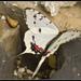 Sericinus montela - Photo (c) Anders Lanzen, algunos derechos reservados (CC BY-NC-SA)