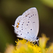 Short-tailed Blue - Photo (c) Tony Hisgett, some rights reserved (CC BY)