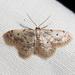 Idaea bonifata - Photo (c) Ken-ichi Ueda, algunos derechos reservados (CC BY)