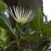 Thilachium - Photo (c) Graeme White, algunos derechos reservados (CC BY-NC)