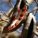 Afzelia quanzensis - Photo (c) Graeme White,  זכויות יוצרים חלקיות (CC BY-NC)