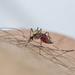 Aedes epactius - Photo (c) Liam Wolff, osa oikeuksista pidätetään (CC BY-NC)