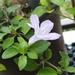 Ruellia prostrata - Photo (c) CheongWeei Gan, algunos derechos reservados (CC BY-NC)